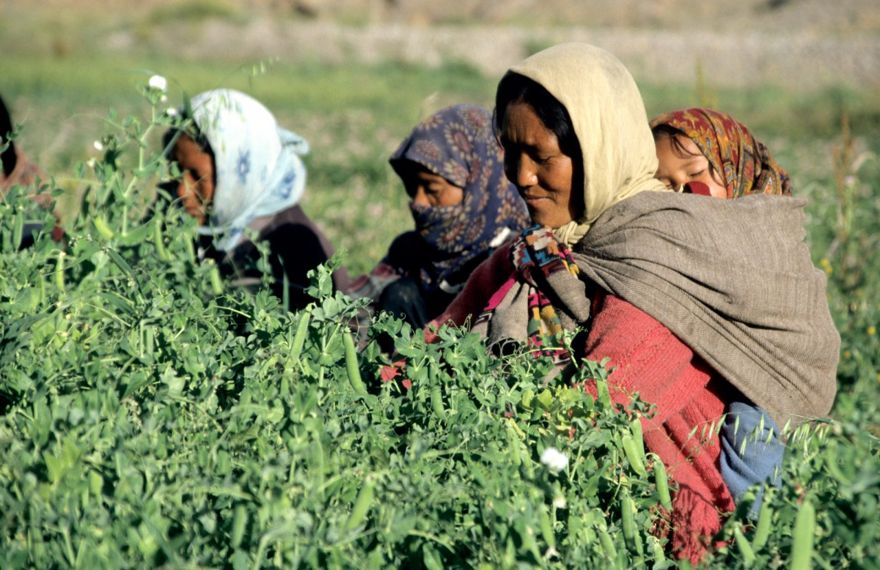 Mother and baby pea picking in the Spiti Valley