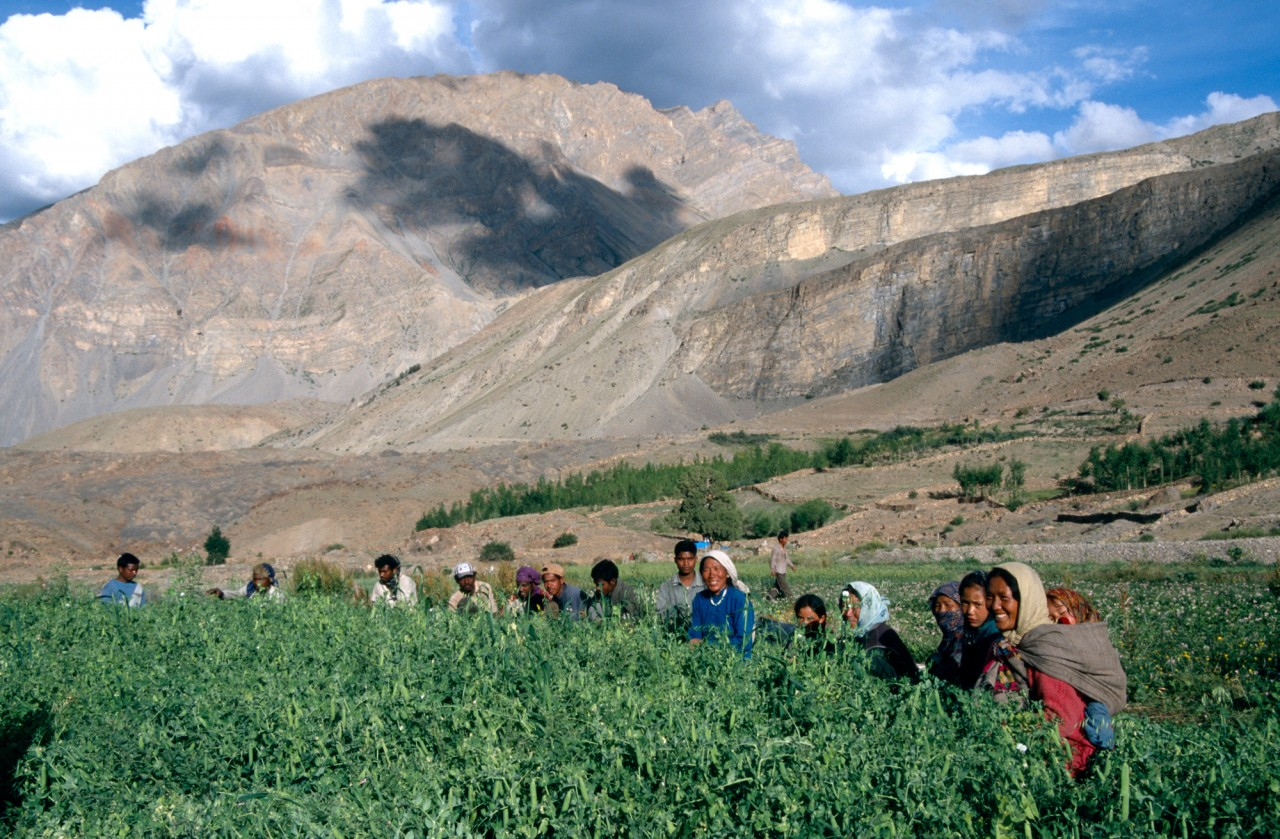 Pea Picking in the Spiti Valley
