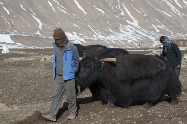 Farming with Yaks in Spiti