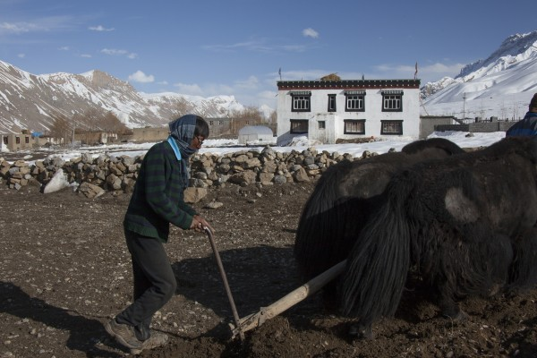 Yak Farming in Spiti