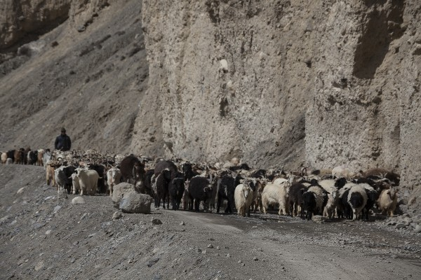 Goat farming in Spiti