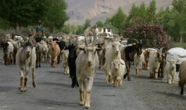 Goats - Animals in Spring Spiti Valley