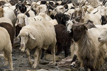 Goats in Spring Spiti Valley