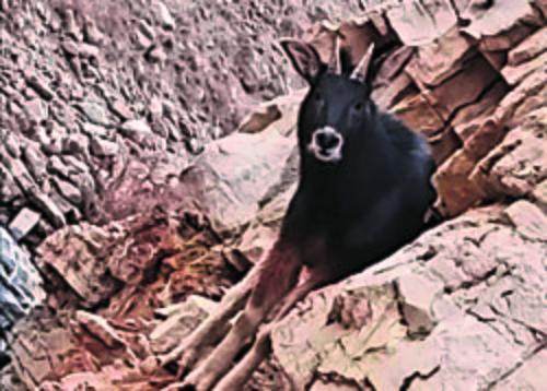 Himalayan Serow Goat Antelope